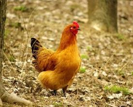 自家散养鸡